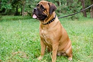 "Collare in pelle con borchie a punta ""Bow-Wow"" per Bullmastiff"
