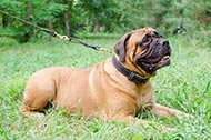 "Collare in pelle con morbida fodera ""Royal Gift"" per Bullmastiff"