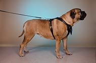 "Pettorina in pelle naturale ""Working dog"" per Bullmastiff"