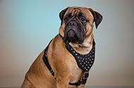 "Pettorina in pelle con decorazioni ""Jewel"" per Bullmastiff"
