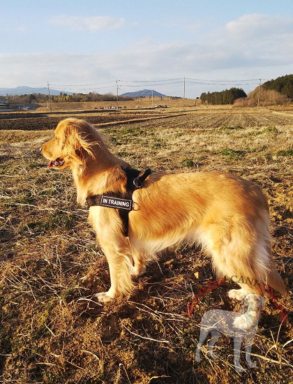 Pratica pettorina in nylon per Golden Retriever