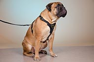 "Pettorina in pelle ""Let's go & Walk Slowly"" per Bullmastiff"