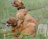 Splendido collare con borchie rotonde per Dogue de Bordeaux