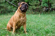 "Collare in pelle ""Treasures of the Pyramids"" per Bullmastiff"