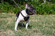 "Pettorina in pelle naturale ""Easy walk"" per Bulldog Francese"