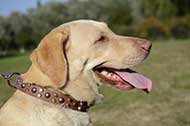 "Collare in pelle naturale ""Vivid glow"" per Labrador Retriever"
