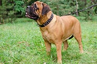 "Collare in pelle ""Spiked Holiday Collar"" per Bullmastiff"
