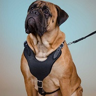 "Pettorina classica in pelle ""Walk & Train"" per Bullmastiff"