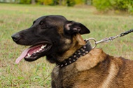 "Collare in pelle con decorazioni ""Thorn Kick"" per Malinois"