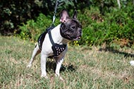 "Pettorina in pelle decorata ""Majesty"" per Bulldog Francese"