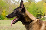 "Collare a strozzo in pelle ""Conditional Freedom"" per Malinois"
