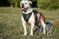 "Pettorina in pelle ""Working dog"" per Bulldog Americano"