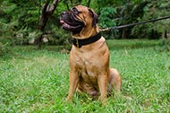 "Collare in doppio strato di pelle ""Double-layer"" per Bullmastiff"