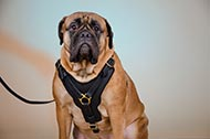 "Resistente pettorina in pelle naturale ""Power"" per Bullmastiff"