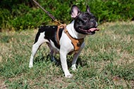 "Pettorina in pelle decorata ""Quiet Walk"" per Bulldog Francese"
