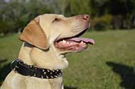 "Collare in pelle decorato ""Thorn Kick"" per Labrador Retriever"